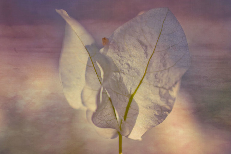 Bougainvillea Angel - After processing with textures overlays in Photoshop