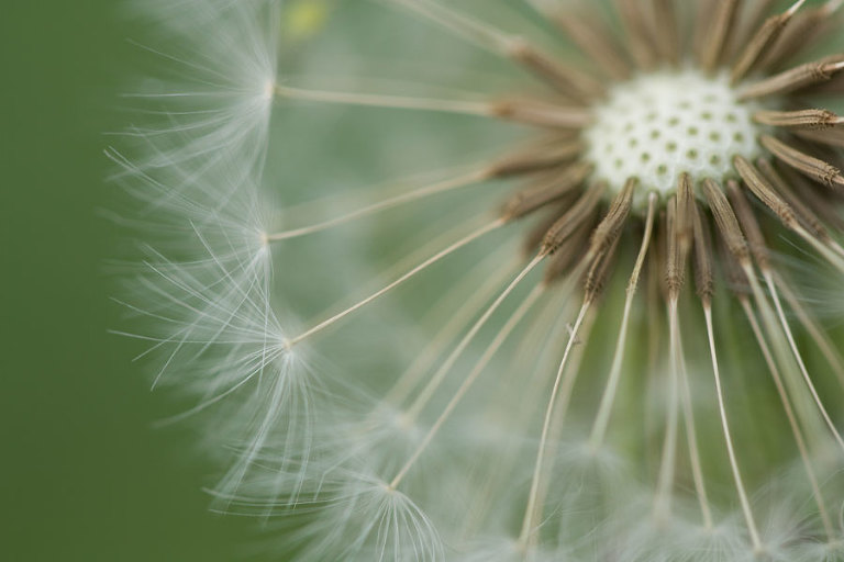 Dandelion - A close-up photo of a dandelion