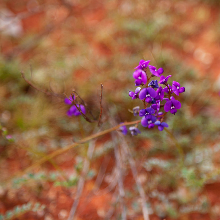 Native Pea Native Australian wildflower