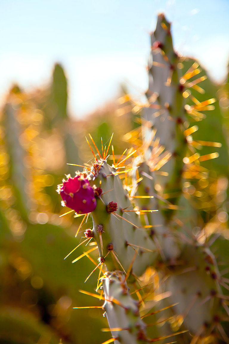 Prickly Pear, cactus flower