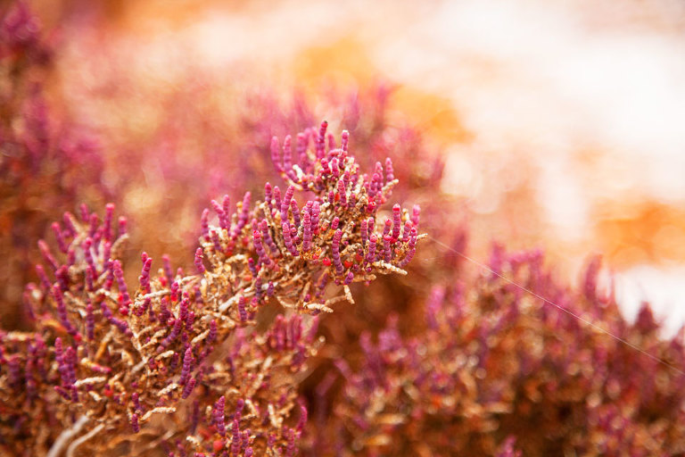 Samphire Native Australian wildflower