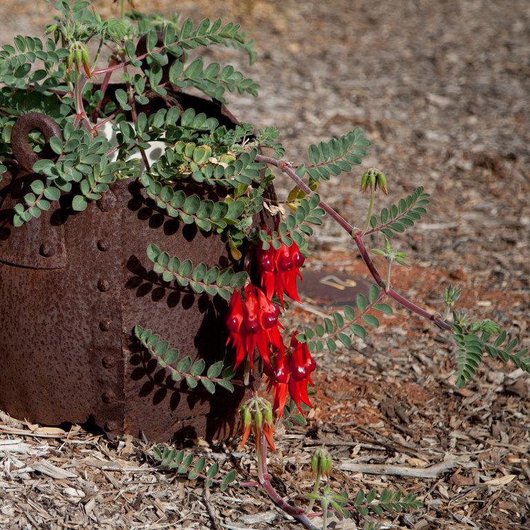 Sturt Desert Pea; Native Australian wildflower; red shiny in rusted pot
