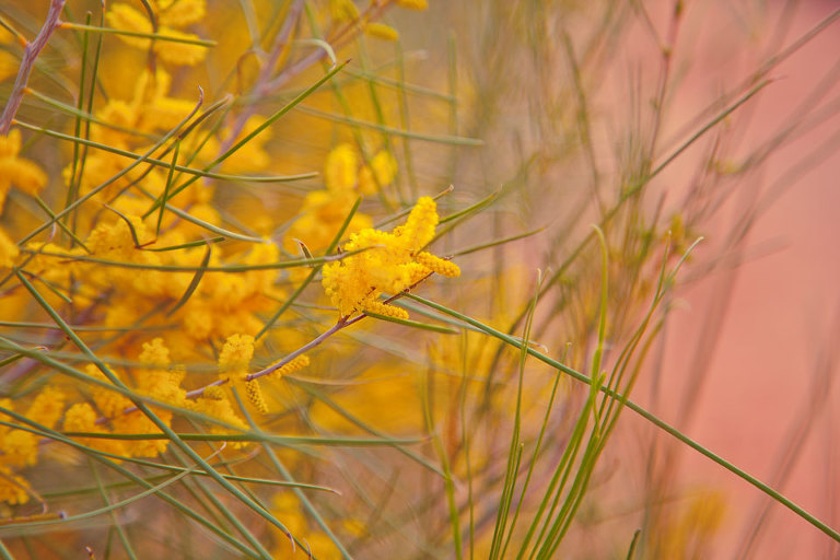 Native Australian wildflower; wattle; golden yellow against red dust