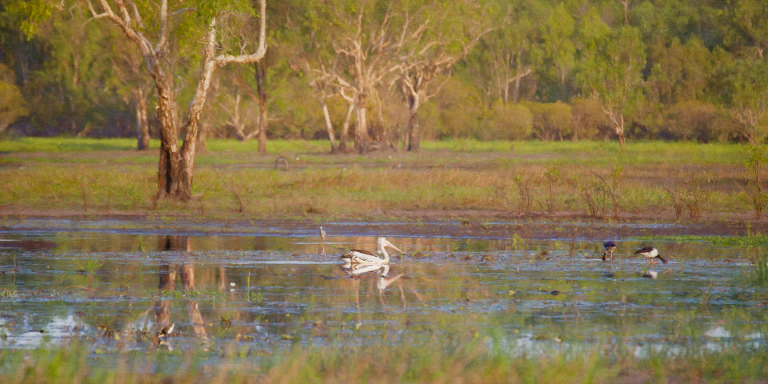 Australian Pelican on Yellow Water Billabong with paperbark trees in the background