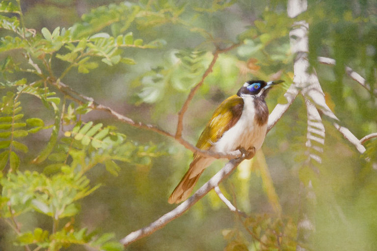 Blue Faced Honeyeater in Tree
