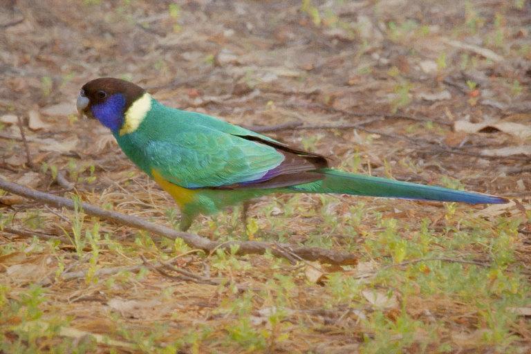 Ringneck Parrot (Barnardius zonarius)