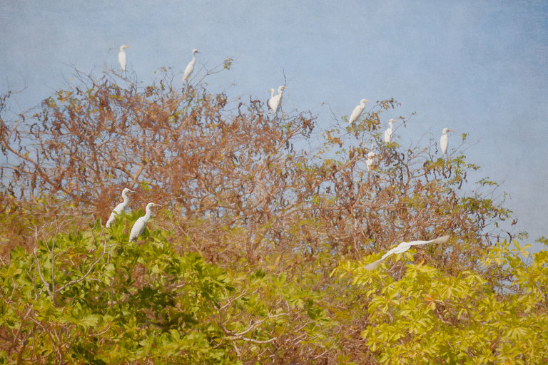 Flock of Egrets