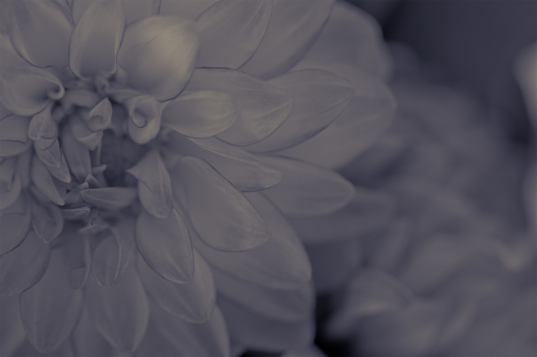 Pink chrysanthemum processed in Lightroom with one of my presets to create a soft monotone image