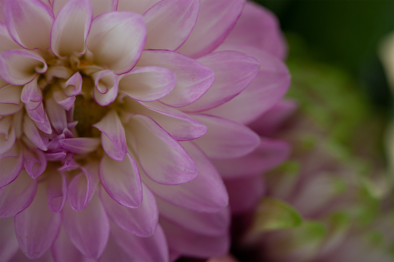 Image of a pink chrysanthemum before processing with textures